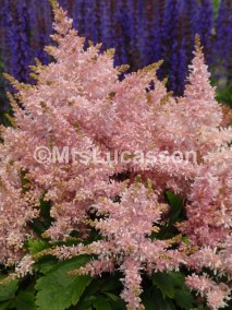 Astilbe Sugarberry 10 jpg