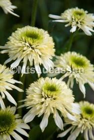 Echinacea Mozzarella 1