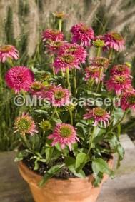 Echinacea Piccolino® pot