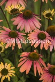 Echinacea Summer Cocktail® 4