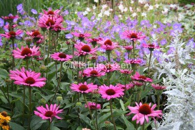 Echinacea The King.3JPG