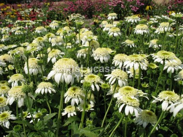 Echinacea white Double Delight