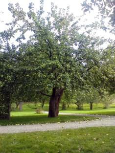 Äppelträden i Svindersviks gård, Nacka