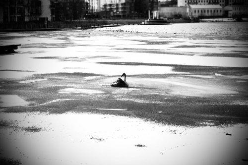 Svanunge fastfrusen i Hammarby sjö