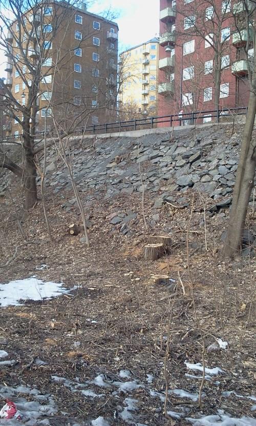 Stockholm stad fällde friska träd nedanför Danviksklippan