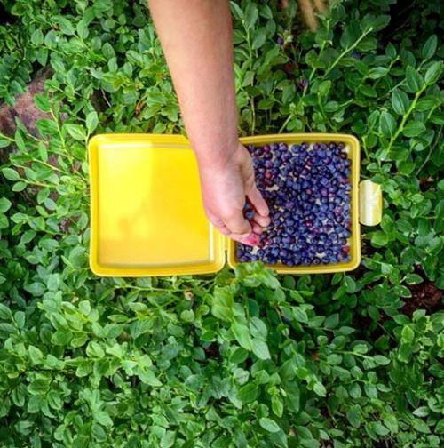 Samla blåbär i skogen Trolldalen i Nacka
