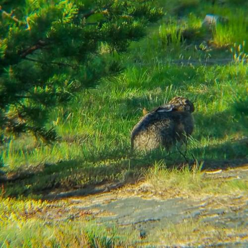 En hare sitter stilla i gräset på Bageriberget i Saltsjöqvarn