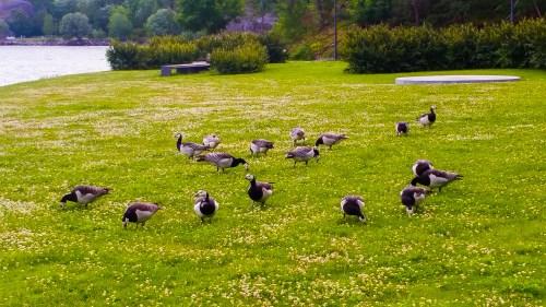 Kanadagäss i Kvarnholmsparken