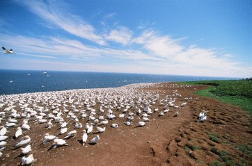 Beyond the Gannet's colony