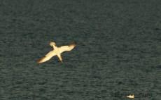 Gannet fishing in the bay of Port-Daniel