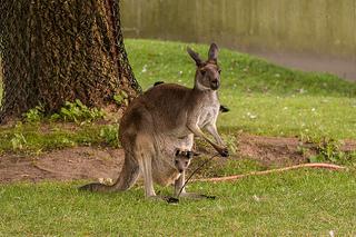 Baby Kangaroo & Momma