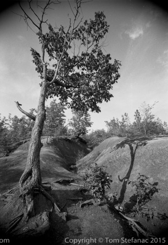 Weathered tree in the Cheltenham Badlands. Ilford Delta 100 film