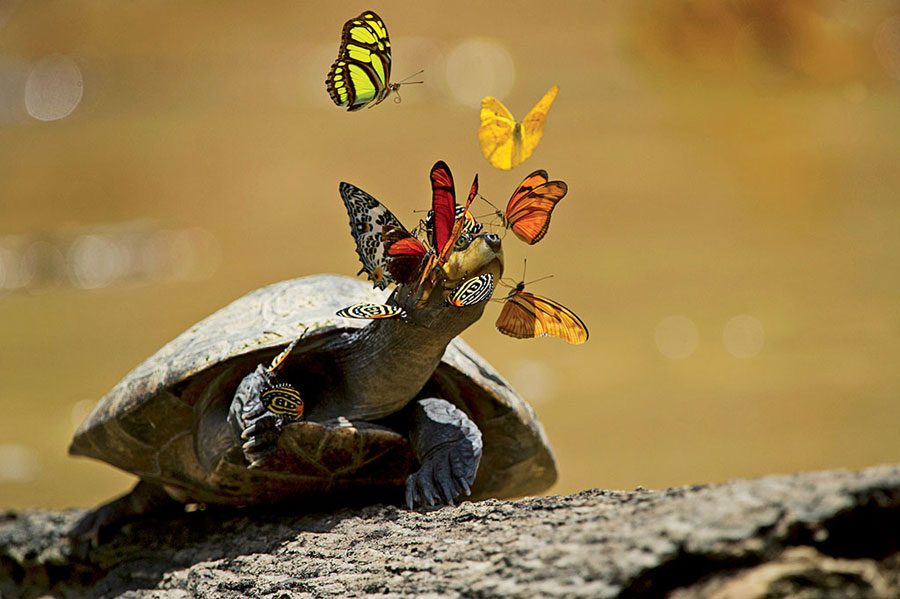 Butterflies drink turtles tears