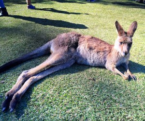 lounging kangaroo in Gold Coast, Australia Vaycarious.com