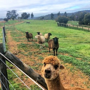 alpacas and sheep in Swan Valley, Australia vaycarious.com