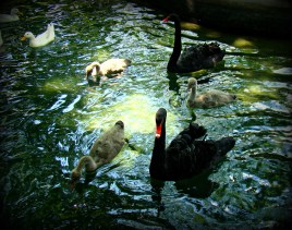 Black Swan Family, Bgd Zoo