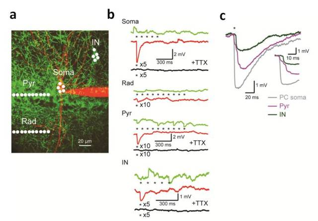 Fig. 2: Large inhibitory synaptic terminals are activated by TEFO ChR2 excitation.