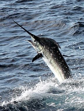 Blue Marlin Seaford 96