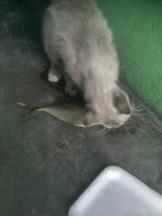 miso comiendo pescado