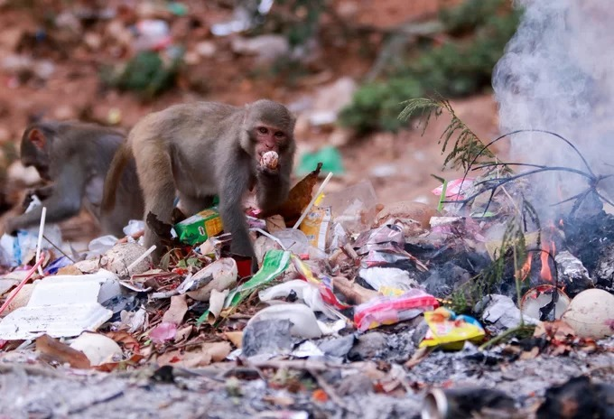 Wild monkeys in central Vietnam scour at trash dumps for food - 1