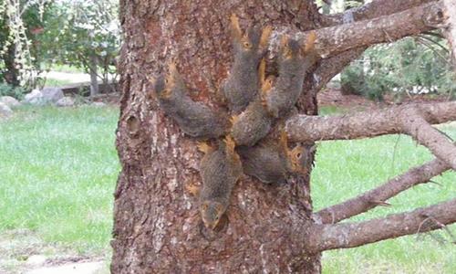 6 con sóc dính đuôi mắc kẹt trên cây