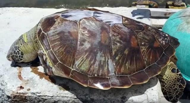 Rùa biểngần 20 kg, bị cắt hai vây trước khi được đưa lên bờ. Ảnh: Mỹ Anh.