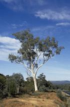 Eucalyptus rossii - Adaptations of Australia's Plants ...