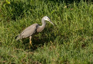 Pic of the Day –  White-faced Heron