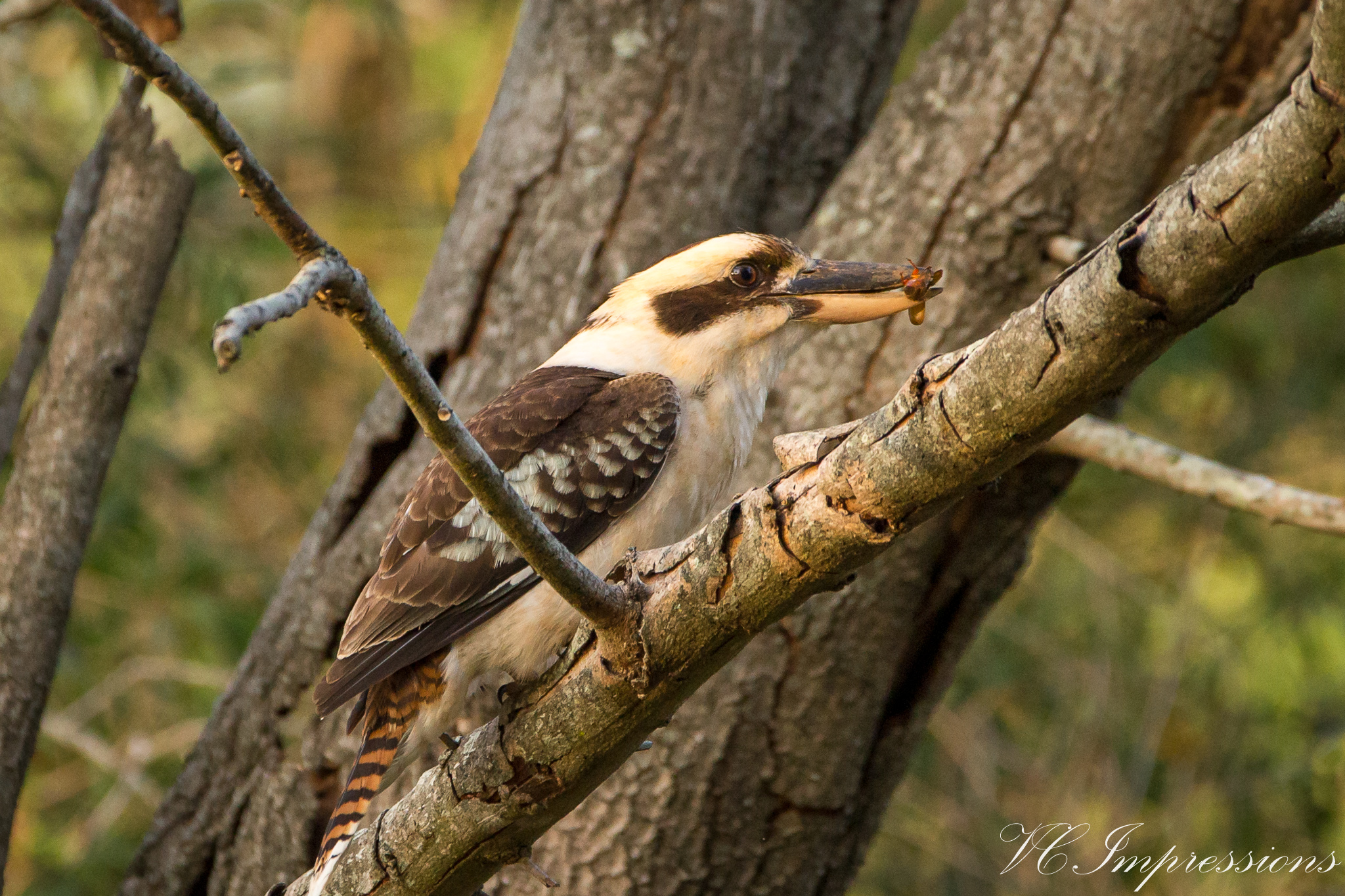 Pic of the Day – Kookabarra with Breakfast