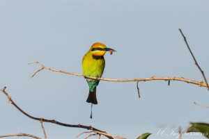 Pic of the Day – Rainbow Bee Eater with Breakfast