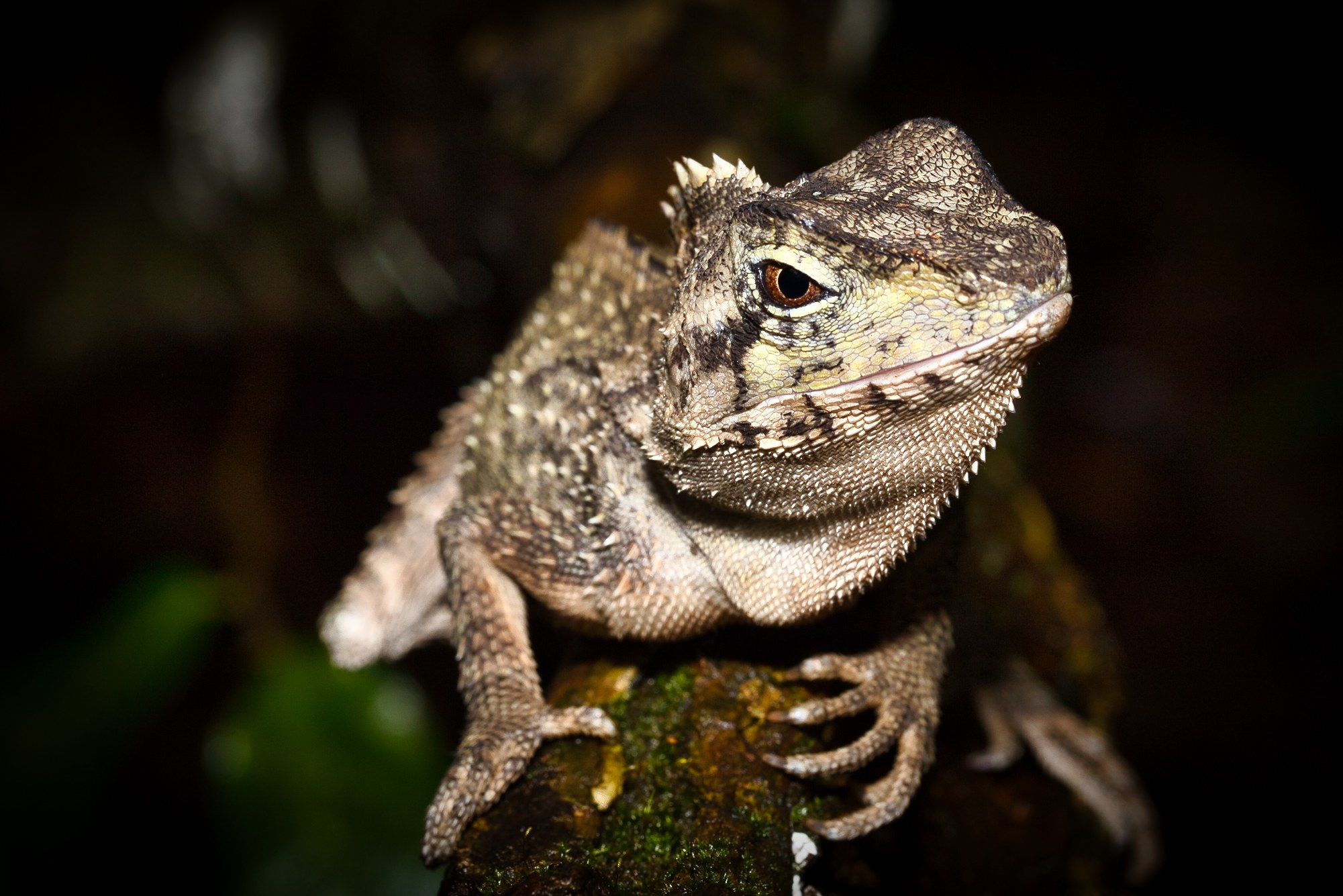 Pic if the Day – Australian Water Dragon