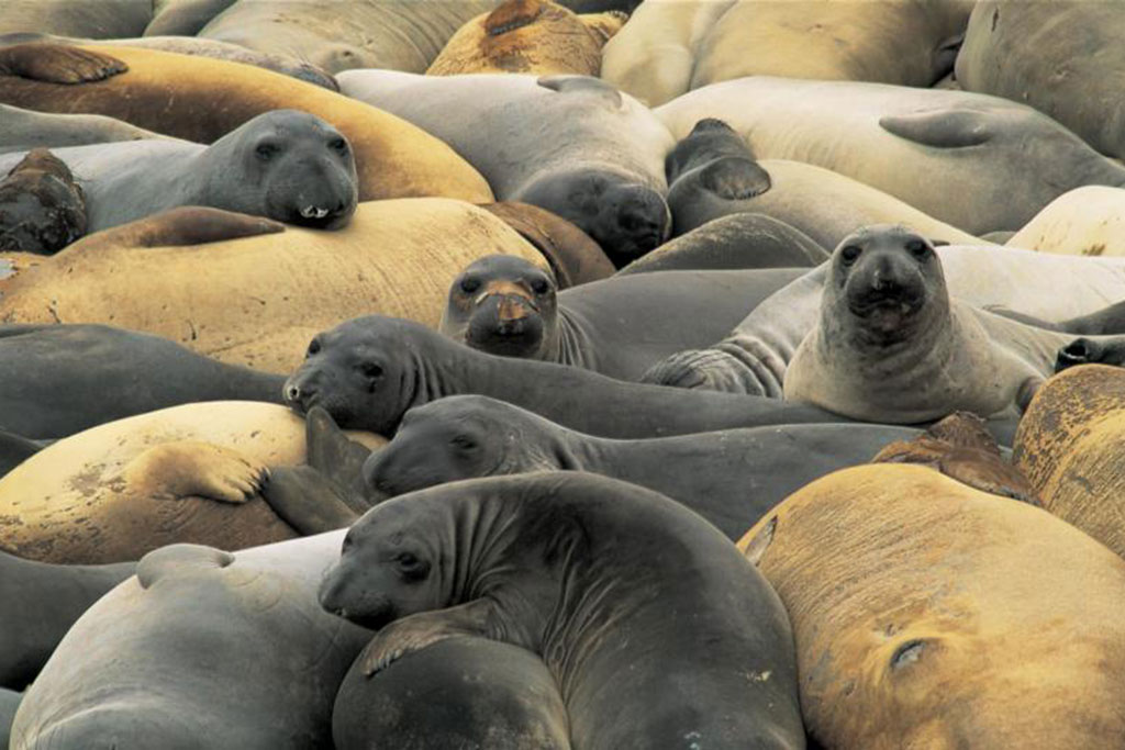 Elephant seal pups on San Miguel Island. Photo by Tim Hauf timhoufphotography.com