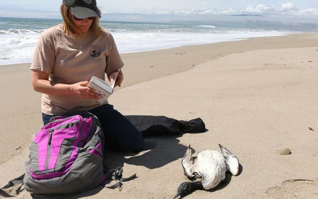 ALGAE BLOOM OF DOOM   Birds, seals and other sea life affected by possible domoic acid poisoning off Ventura coast