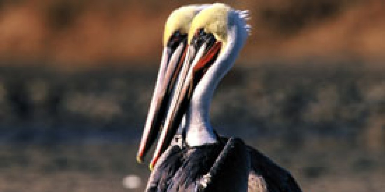 The brown pelican makes a comeback