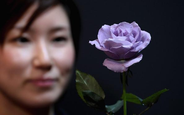A True Blue Rose
