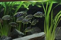 Buntbarsche am Stand von Anubias Aquarien_resize