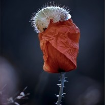 poppy people IV