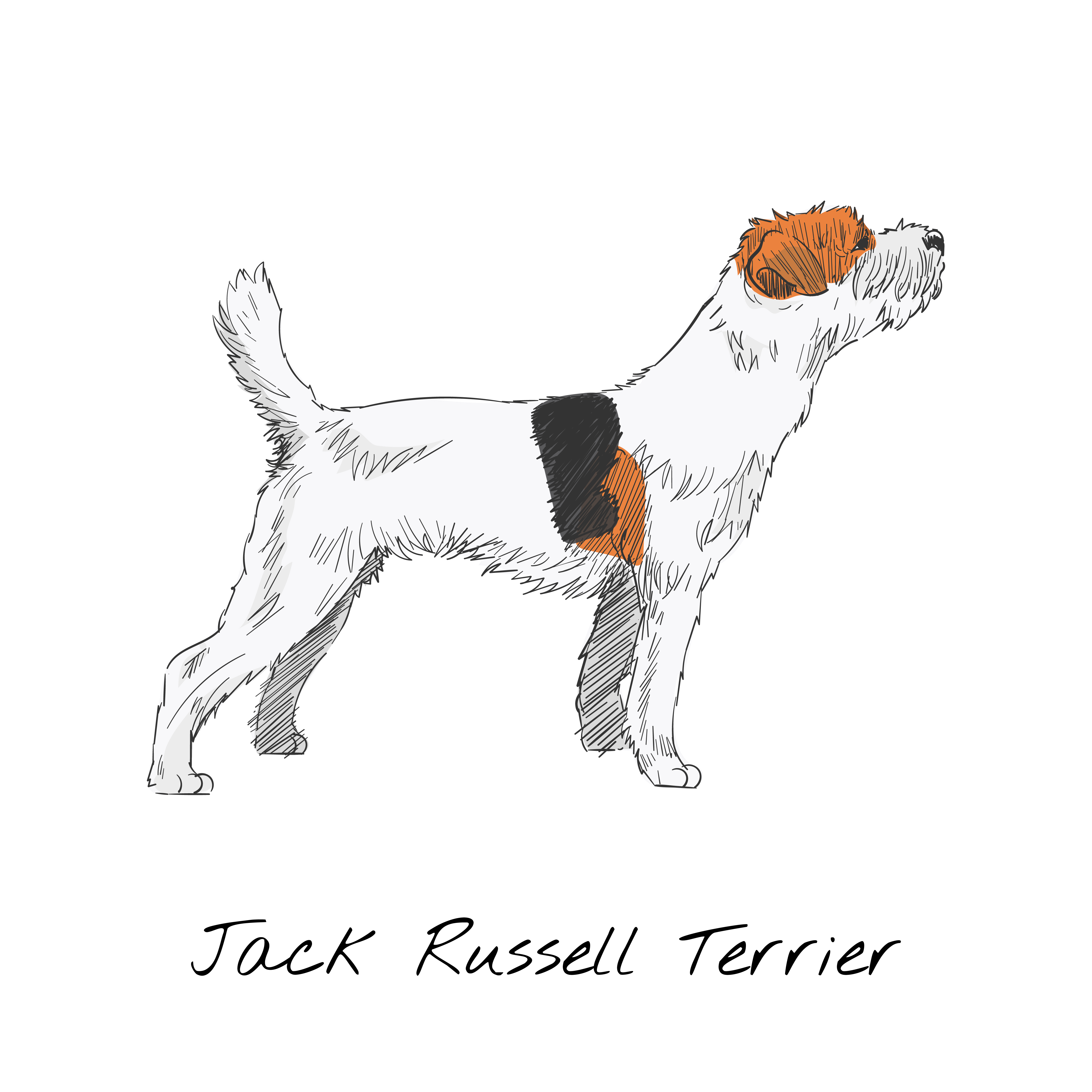 Jack Russell Terrier Vector At Vectorified