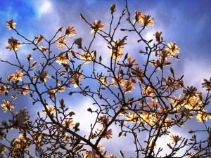 Magnolia stellata against sky, Veddw, copyright Anne Wareham May 2013