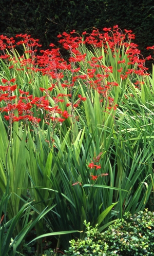 The Triangle, Veddw, Crocosmia, copyright Charles Hawes