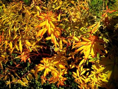 Euphorbia griffithii fireglow, autumn colour copyright Anne Wareham, at Veddw garden, Monmouthshire, South Wales, Welsh Garden