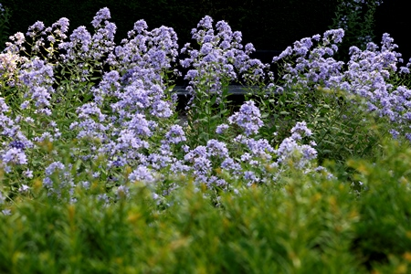 Campanula lactiflora _MG_7514 Veddw, South Wales Garden Attraction,copyright Charles Hawes