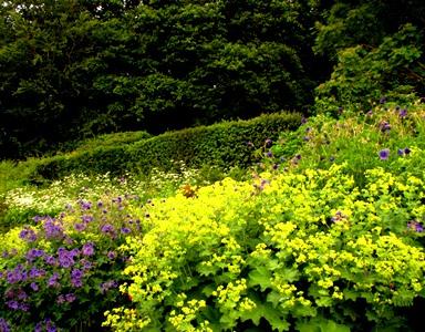 Alchemilla mollis and geraniums copyright Anne Wareham, Veddw South Wales Garden Attraction,