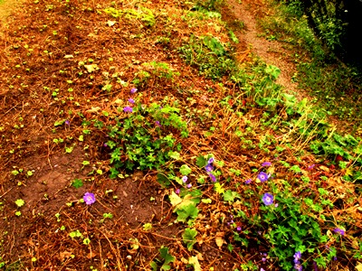 returning alchemilla and geranium s August 2012 Veddw South Wales Garden Attraction, copyright Anne Wareham