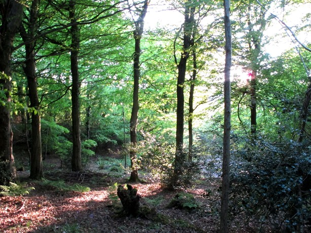 Sun in Veddw wood, spring Copyright Anne Wareham s.
