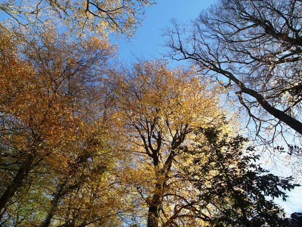 Beech trees Autumn Veddw Copyrght Anne Wareham