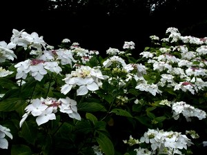 Hydrangea Lanarth White 2014 Veddw Copyright Anne Wareham