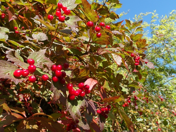 Rose Hips Late August 2014 Veddw, Copyright Anne Wareham