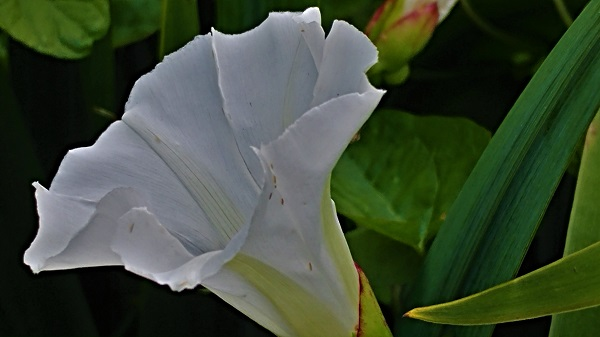 Bindweed, yes or no?