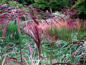 view-across-grasses-miscanthus-flowers-copyright Anne areham